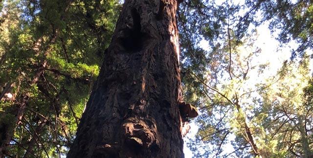 Big Basin Redwoods State Park in California